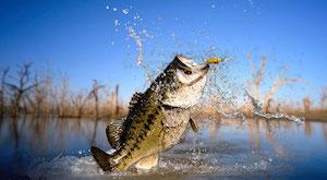 Topwater Bass Bite