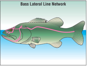 Lateral line of a bass